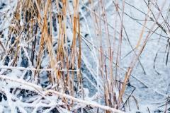 Wasserpflanzen-Winter-1