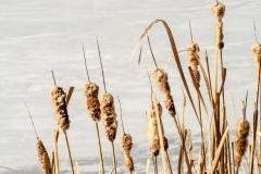 Wasserpflanzen-Winter-3